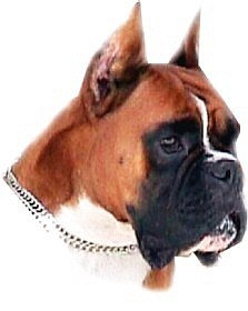 Boxers Urkabustaiz - perros boxer